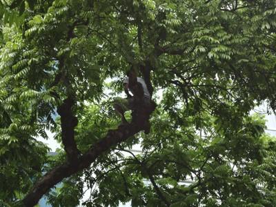 Hình ảnh ngồi trên cây sấu để hái quả rất nguy hiểm, cộng thêm đó là việc bẻ cành, ngắt lá vứt xuống đường, làm mất cảnh quan và ảnh hưởng đến môi trường.