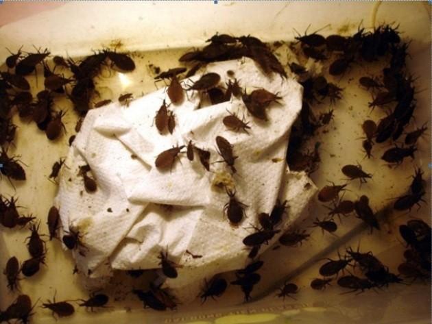 Loại bọ xít hút máu là thủ phạm gây ra bệnh ký sinh trùng.