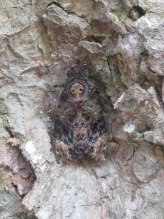 Hình mặt phật trên thân bướm